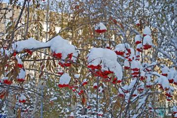 Rowan berries under the snow, November, Tyumen