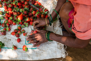 Netravali,Goa/India- March 21 2019: Strawberries being sorted and packaged for sale at a farm in Goa, India Fototapete