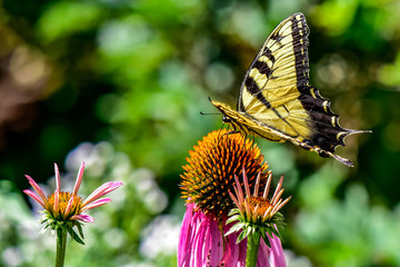 Eastern Tiger Swallowtail Butterfly on a Coneflower