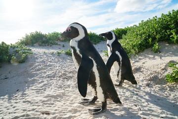 zwei Pinguine am Strand Nahaufnahme