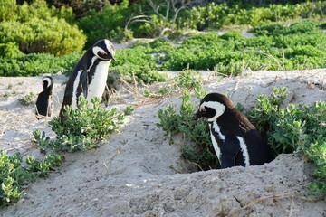 Pinguine beim Nisten in der Nisthöhle