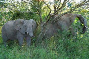 Junger Elefant zeigt mit seinem Rüssel