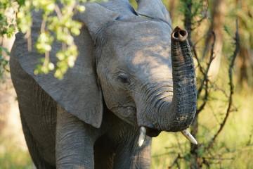 Kleiner Elefant hebt den Rüssel