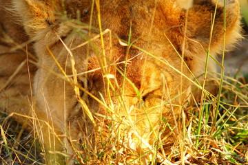 Schlafender Löwe im Gras