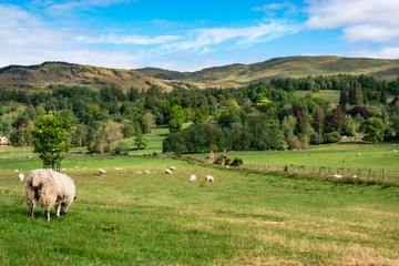 View of rural Scotland with sheep, UK.
