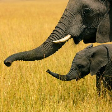 Elephant mother with a baby, Kenya