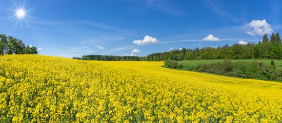 Geschwungenes, hügeliges, blühendes Rapsfeld in malerischer Landschaft am Waldrand im Sonnenschein Fotoväggar