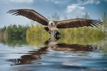 vulture above water