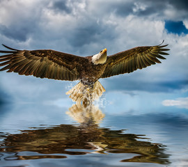Bald Eagle above water in the Netherlands