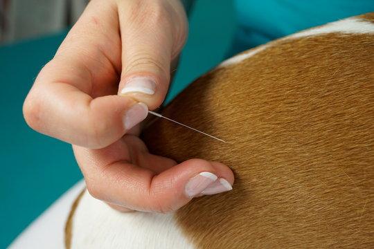 Akupunktur Hund Tierarzt TCM Behandlung