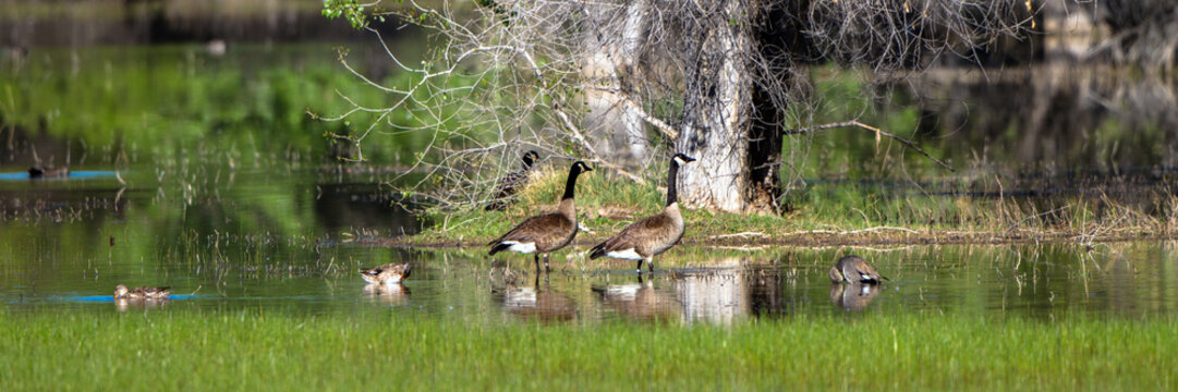 Canada Geese and Ducks in a marsh in spring, with reflections