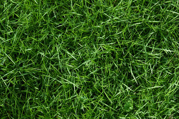 Texture of green grass background
