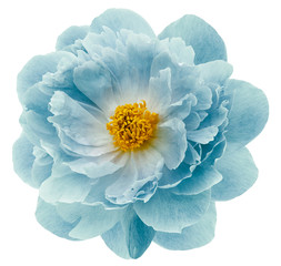 turquoise peony flower isolated on a white  background with clipping path  no shadows. Closeup.  Nature.