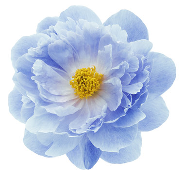blue peony flower isolated on a white  background with clipping path  no shadows. Closeup.  Nature.