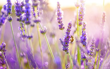 Photo Blinds Lavender brins de lavande