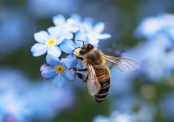Biene bee Vergissmeinnicht forget-me-nots wildbiene wild bee blue yellow blau gelb garten