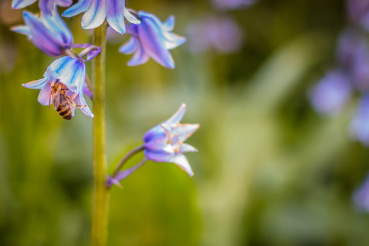 Close up of pretty, vibrant, purple Bluebells with a bee collecting nectar