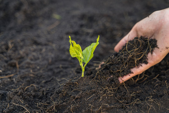 The soil is in the hand of women who are planting seedlings.