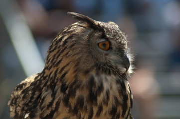 Great Horned Owl bird show ready to fly