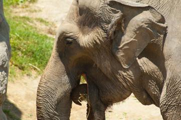 Asian Elephant eating hay at Los Angeles Zoo