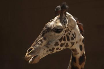 Cute doe-eyed West African Giraffe