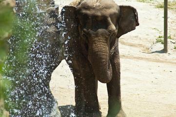 Asian Elephant enjoys a waterfall shower