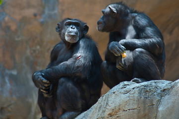 Two Mahale Mountain Chimpanzee at LA Zoo Chimps look at each other one open wound-0026