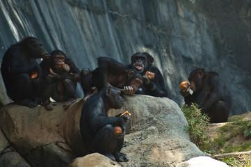 Group of five Mahale Mountain Chimpanzees at LA Zoo eats on a rock