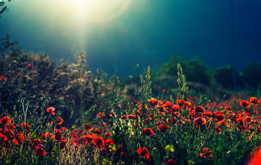 Field Of Red Poppies on sunset time