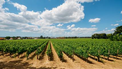 Vineyard at Azeitao in the Setubal region, Portugal