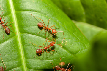 Close up crowd red ant on green leaf in nature at thailand