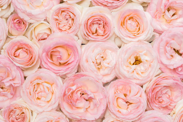 Background image of fresh pink roses. Closeup view