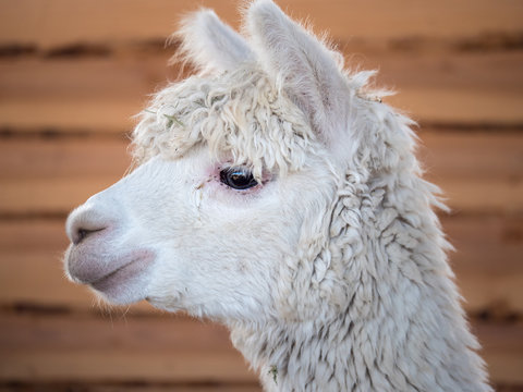 Closeup of the head of a white and woolly alpaca