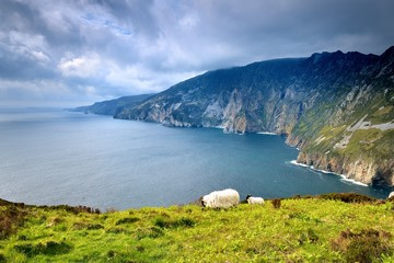 Sheep and lamb on the highest cliffs of Ireland