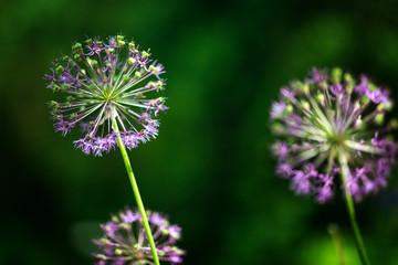 Purple allium nutans onion flowers closeup