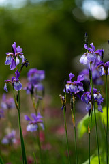 Beautiful iris flowers in the garden at sunset on blurred background