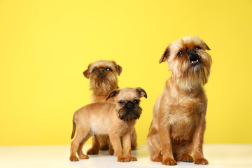 Studio portrait of funny Brussels Griffon dogs on color background Wall mural