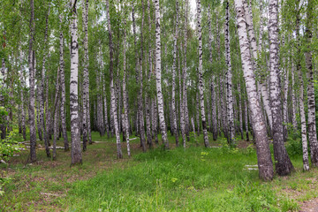 landscape in a birch grove