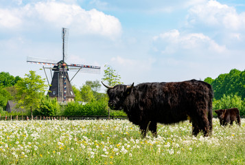 Foto auf Acrylglas Lebensmittelgeschäft Countryside landscape with black scottish cow, pasture with wild flowers and traditional Dutch wind mill