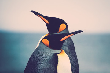 Papiers peints Pingouin King Penguin couple (Aptenodytes patagonicus)