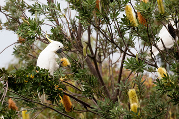 Sulphur Crested Cockatoos eating Banksia wildflowers in The Blue Mountains, Australia.