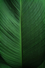 Wall Mural - Close-up of large foliage of tropical leaf with dark green texture, abstract nature background.
