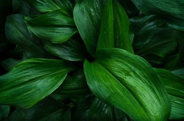 Wall Mural - Large foliage of tropical leaf with dark green texture, abstract nature background..