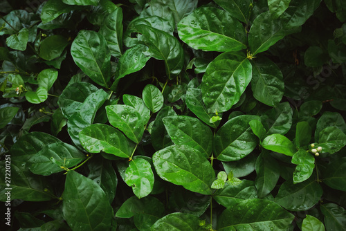 Wall mural Foliage of tropical leaf in dark green with rain water drop on texture, abstract pattern nature background..