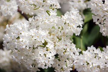 Beauty the blooming white lilac in the spring
