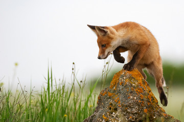 Baby Fox. Young red Fox on the stone near his hole