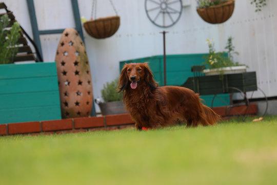 庭で遊ぶダックスフンド