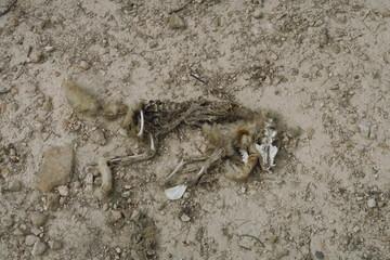 dépouille d'animal sur le sol desséché.