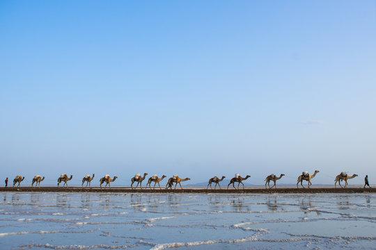 Camel caravans carrying salt blocks in the danakil depression, Afar region, Dallol, Ethiopia