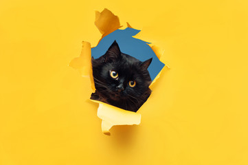Funny black cat looks through ripped hole in yellow paper. Peekaboo. Naughty pets and mischievous domestic animals. Copy space. Blue background. Fototapete